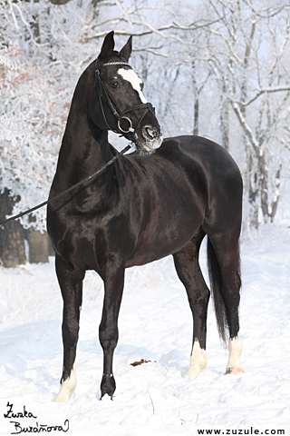 Hřebec Esprit Royal (Kodex Royal)