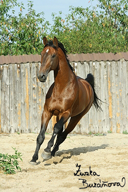 Hingst Prinz Claire