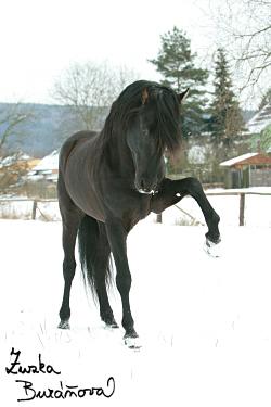 Andaluský hřebec